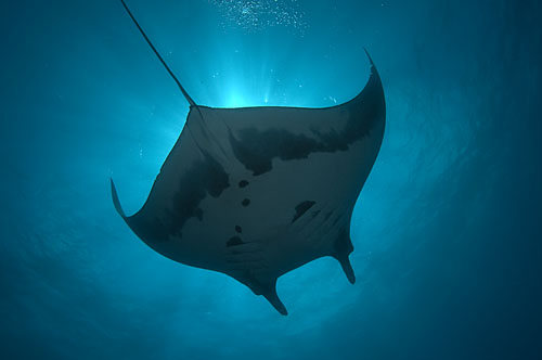 manta ray seen from the solmar V underwater