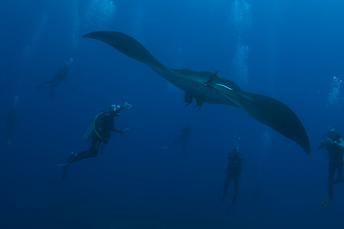 manta ray at socorro island underwater photography