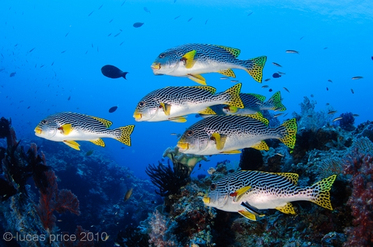 schooling sweetlips underwater