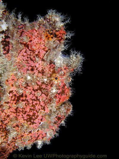Frogfish2 Jeju Underwater