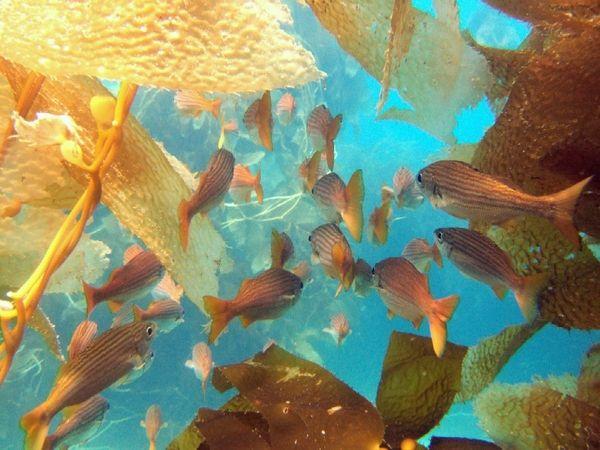 schooling salema underwater
