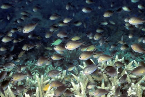 schooling chromis, diving png