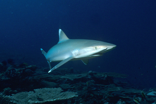 silvertip reef shark, diving papua new guinea