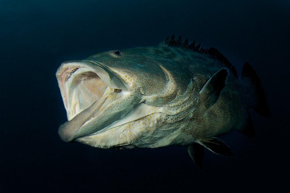 Mero do Pacífico VS Tubarão de Galápagos  Tiger%20Beach%20images%20for%20UWPhotoguide%20(3)