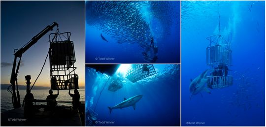 laups best of show, todd winner cage diving with sharks underwater photo