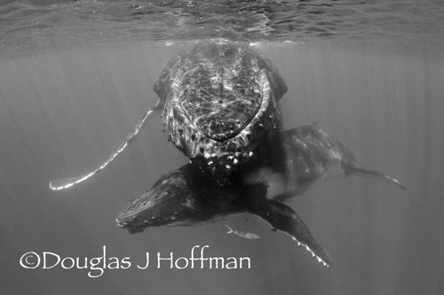 humpback whale photography, tonga