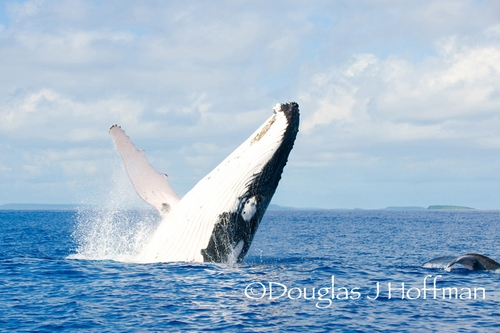humpback whale breaching in Tonga