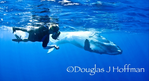 diving with humpback whales in tonga