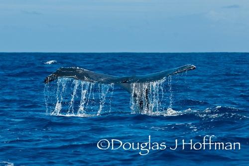 humpback whale tail, tonga