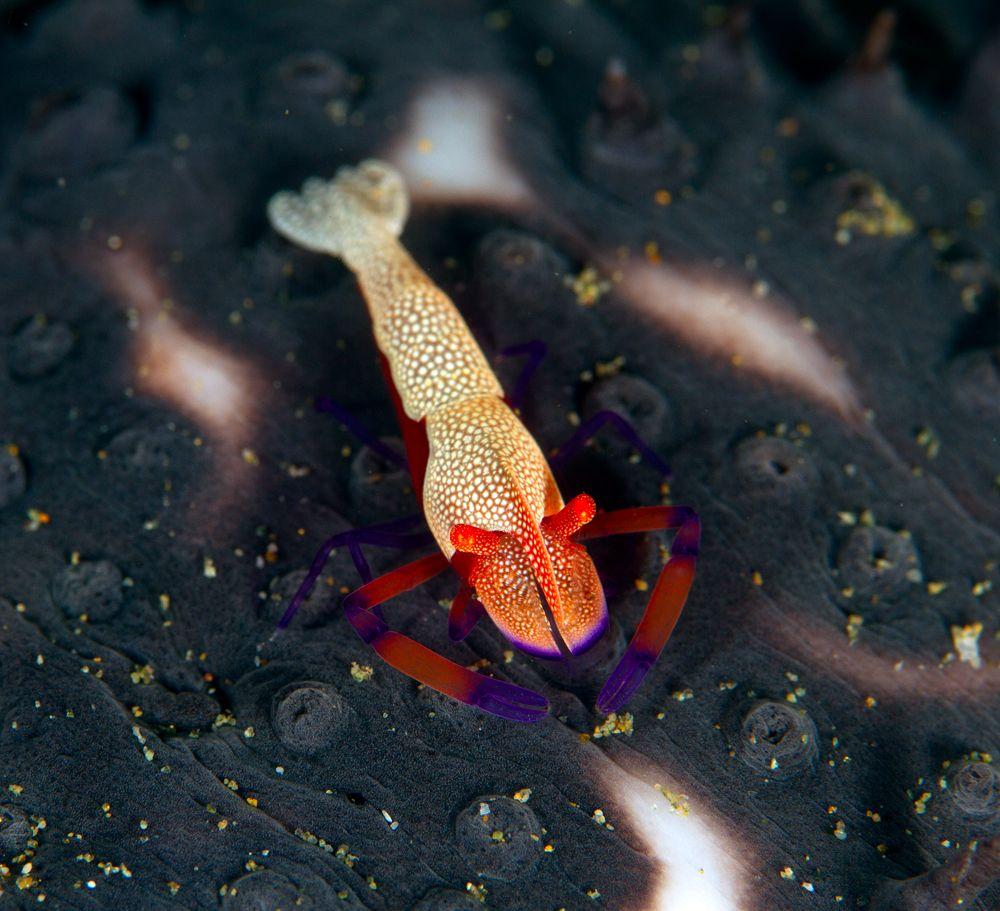Ambon emperor shrimp
