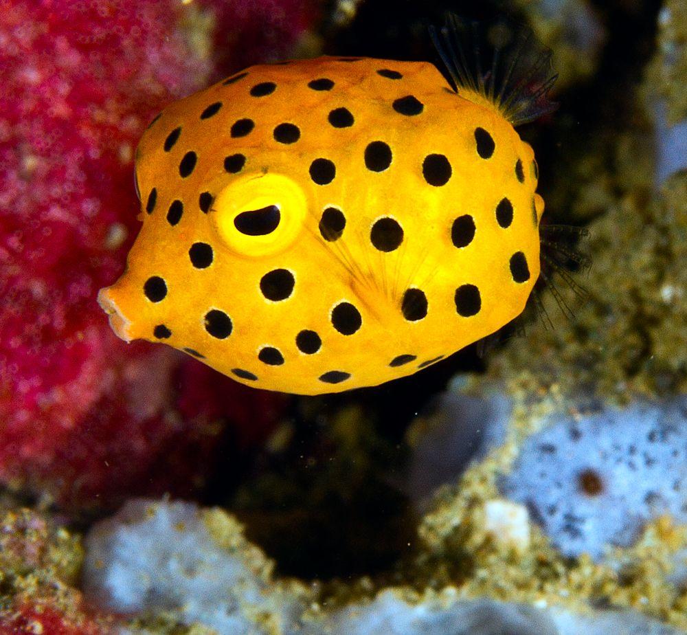 Ambon Boxfish