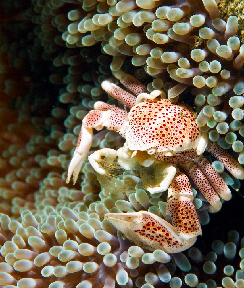 photo essay diving ambon underwater photography guide ambon porcelain crab