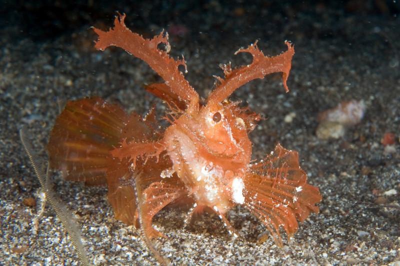 scorpionfish, lembeh
