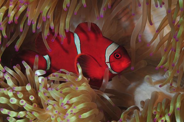 red anemone fish, tulamben bali