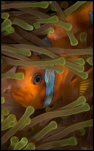 anemone fish underwater photo, diving southern red sea
