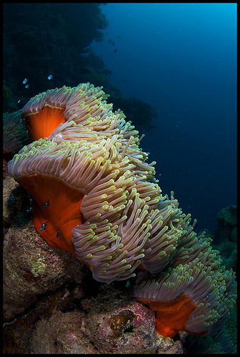 underwater photography an a large anemone, red sea, egypt