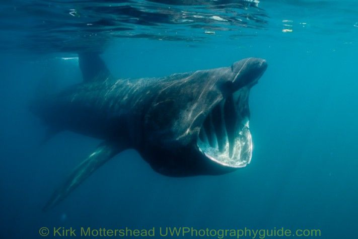 basking shark underwater photo