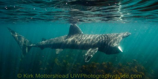 basking shark3
