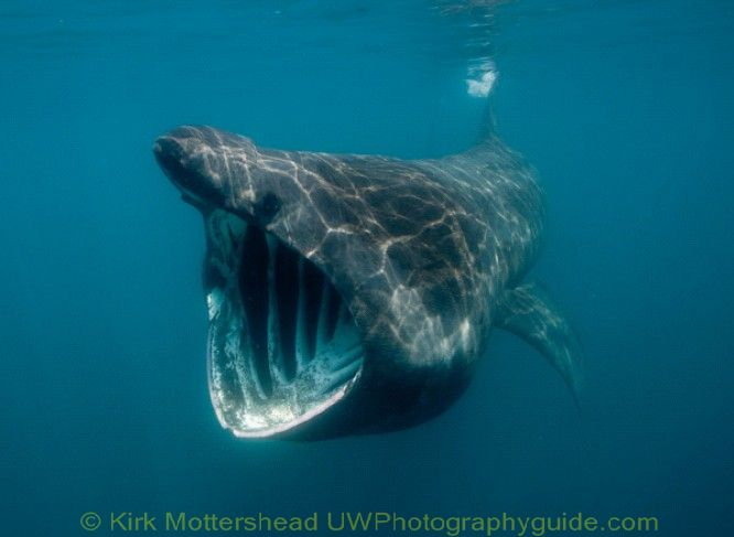 basking shark4