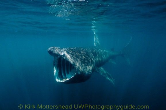 basking shark7