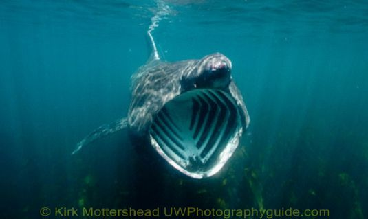 basking shark9