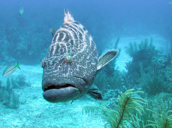 large grouper seen while diving belize
