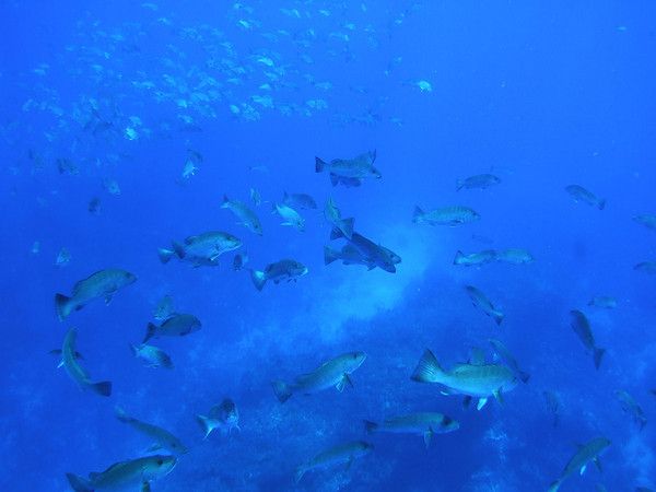 schooling fish underwater in Belize