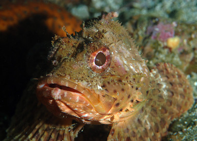 scorpionfish at catalina island, nikon 60mm macro lens