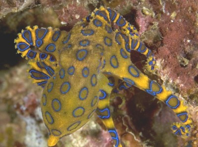 blue ringed octopus underwater photography