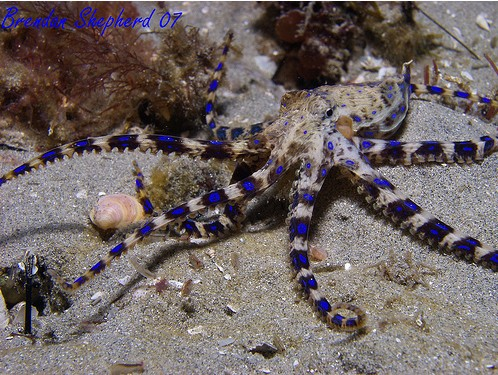 blue ringed octopus, melbourne, brendan shepherd