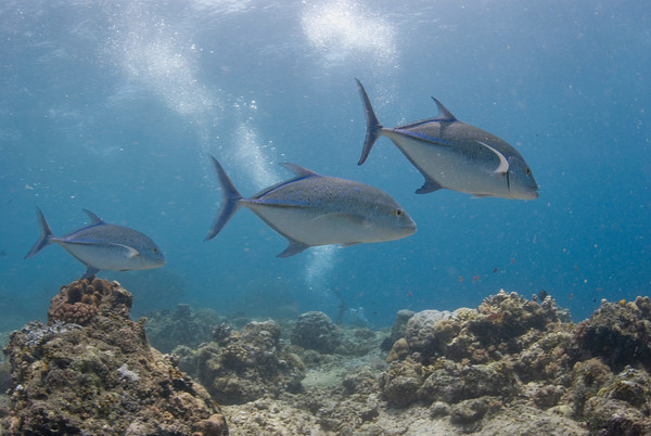 bluefin trevally at lechuan I, bunaken, manado