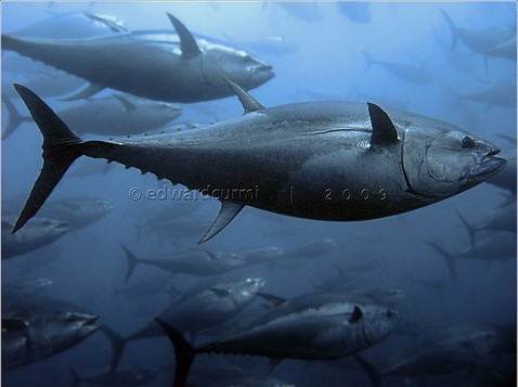 Bluefin tuna swimming underwater