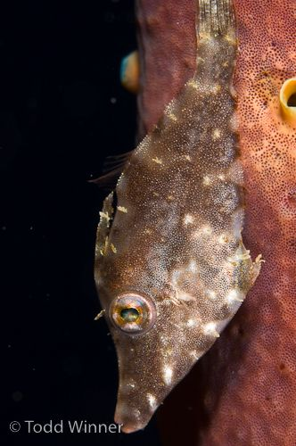 bonaire filefish underwater photo