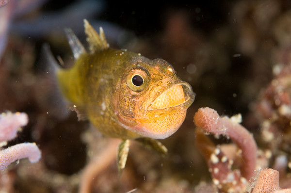 brooding cardinalfish