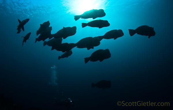 schooling bumphead parrotfish, Liberty wreck, Bali