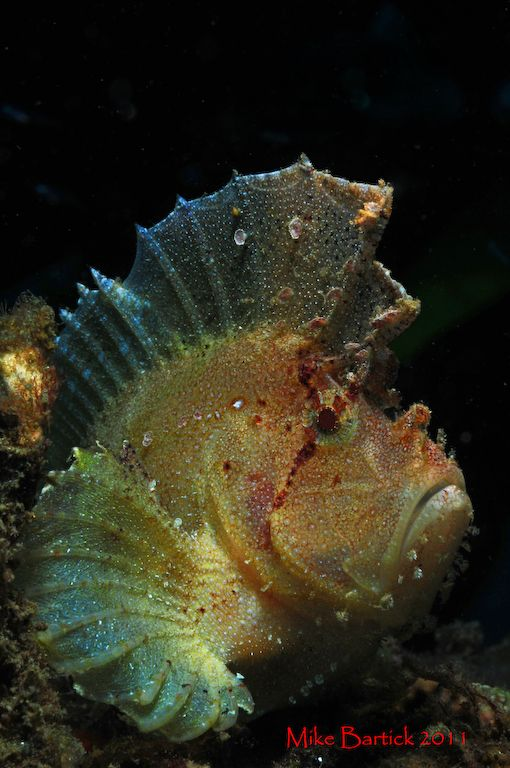 leaf scorpionfish - photo #32