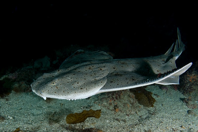 California angel shark underwater photo, california marine life