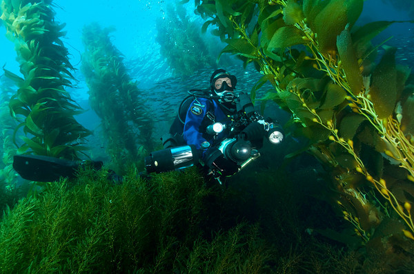 Diver in kelp forest at ship rock, catalina island