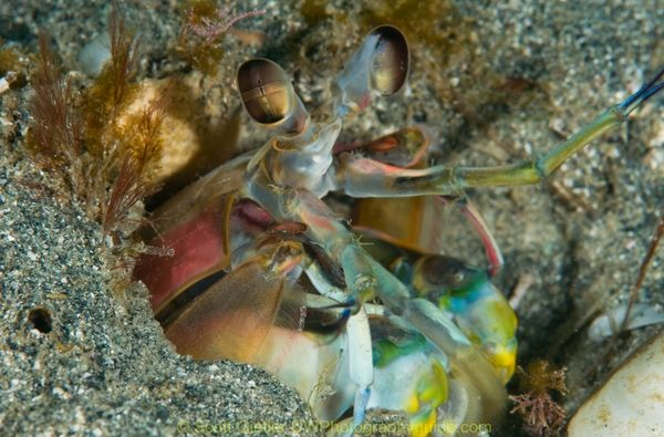 california mantis shrimp underwater