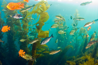 Schooling fish at Catalina Island