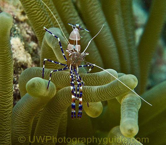 G11 shrimp