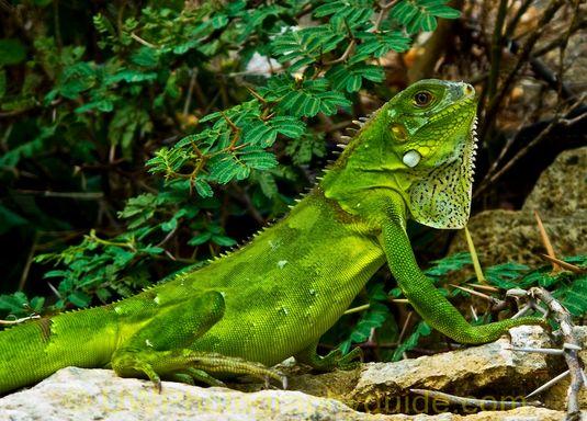 G11 iguana