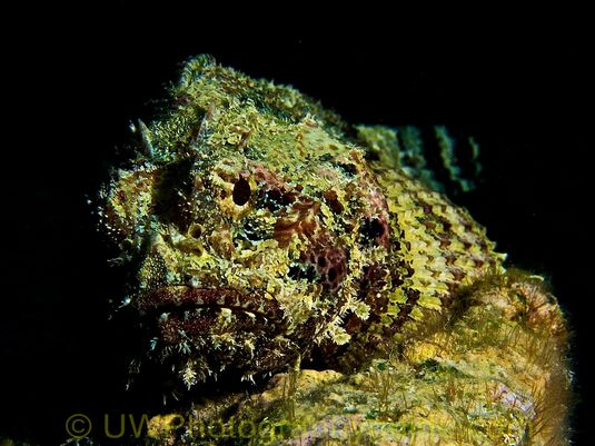 G11 scorpion fish