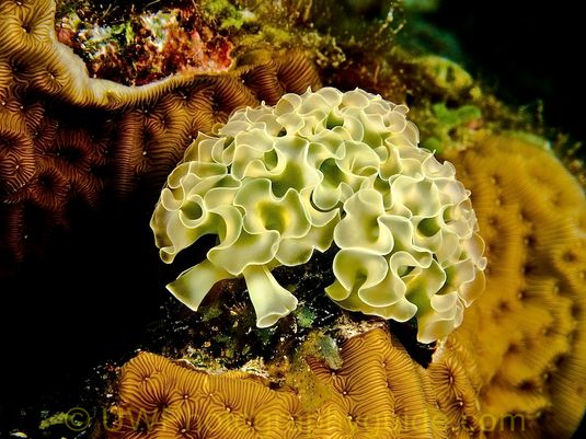 G11 Lettuce Sea Slug