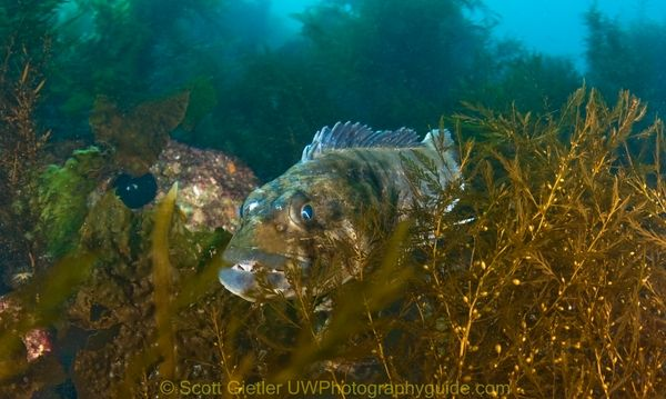 underwater photography of lingcod