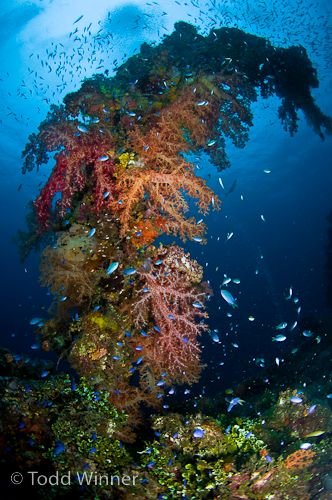 chuuk lagoon soft coral and shipwreck