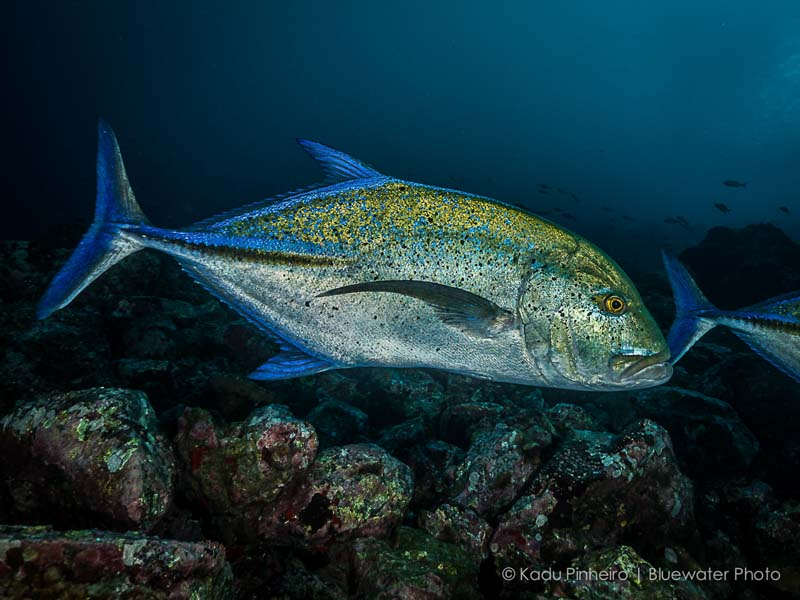 Giant Trevally underwater photography