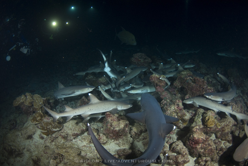 cocos island shark dive at night