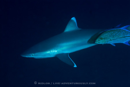 cocos island shark diving