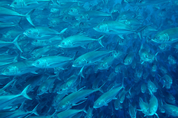 schooling jacks at cocos island